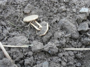 What a sight! Here's an image of the gold cufflinks as they emerged from the soil at the site of a long-vanished colonial-period house site.